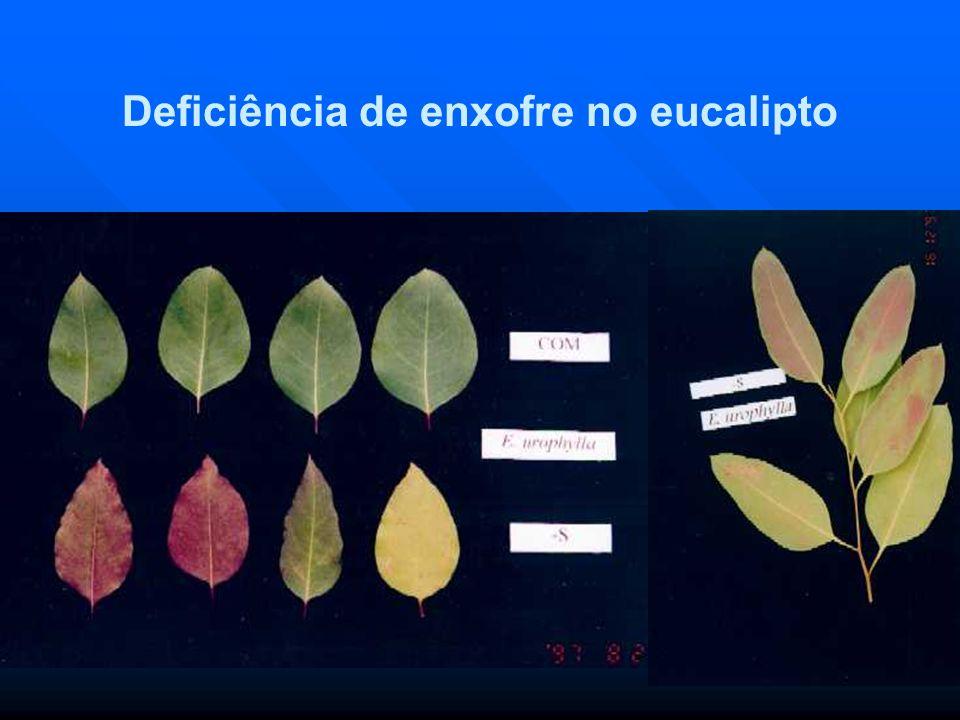 Deficiência de enxofre no eucalipto