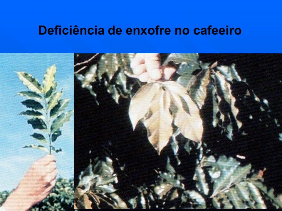 Deficiência de enxofre no cafeeiro