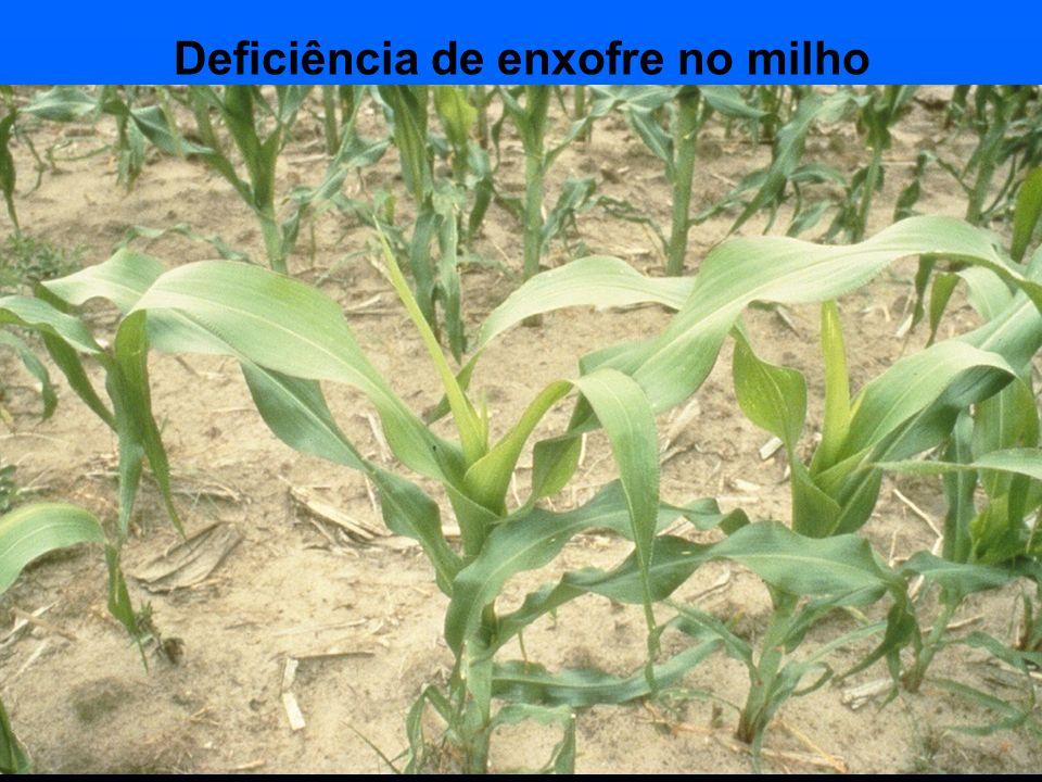 Deficiência de enxofre no milho