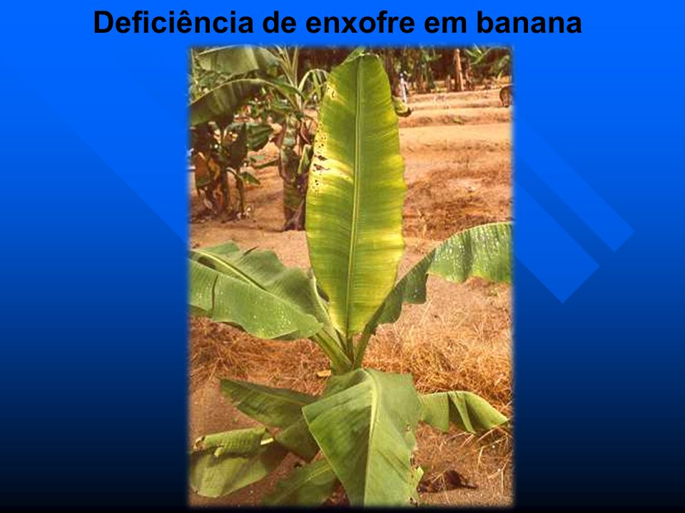 Deficiência de enxofre em banana