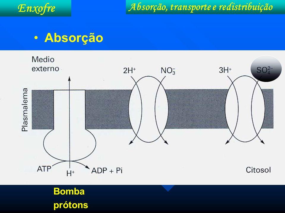 Enxofre Absorção, transporte e redistribuição Absorção Bomba prótons