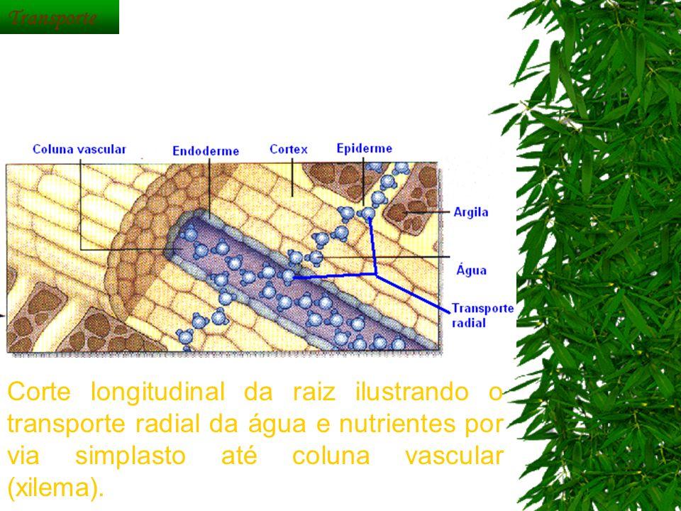 Transporte Corte longitudinal da raiz ilustrando o transporte radial da água e nutrientes por via simplasto até coluna vascular (xilema).