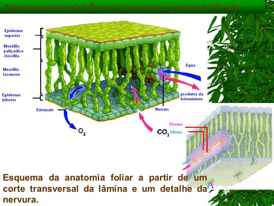 Aspectos anatômicos da folha e os processos ativos e passivos da absorção
