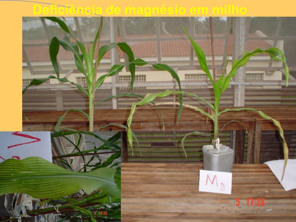 Deficiência de magnésio em milho