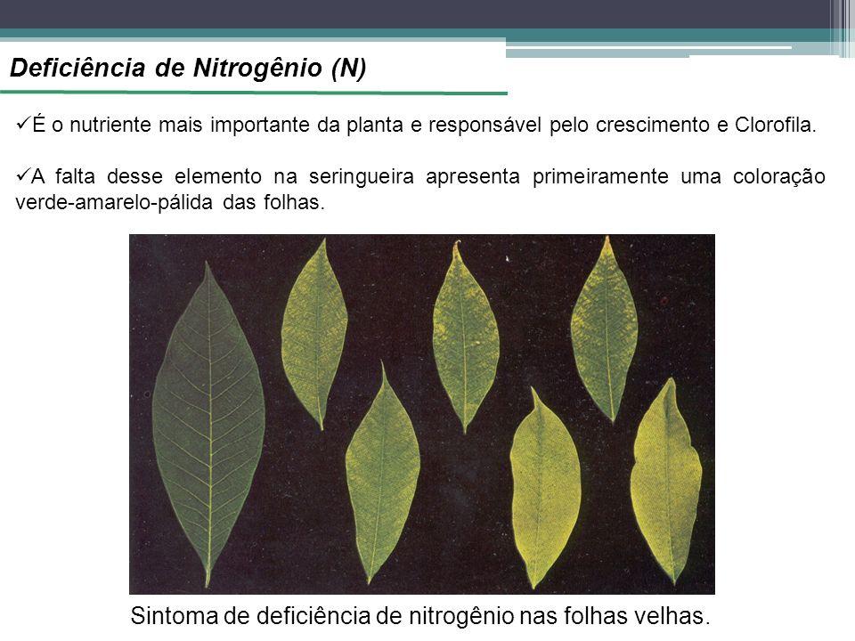 Sintoma de deficiência de nitrogênio nas folhas velhas.