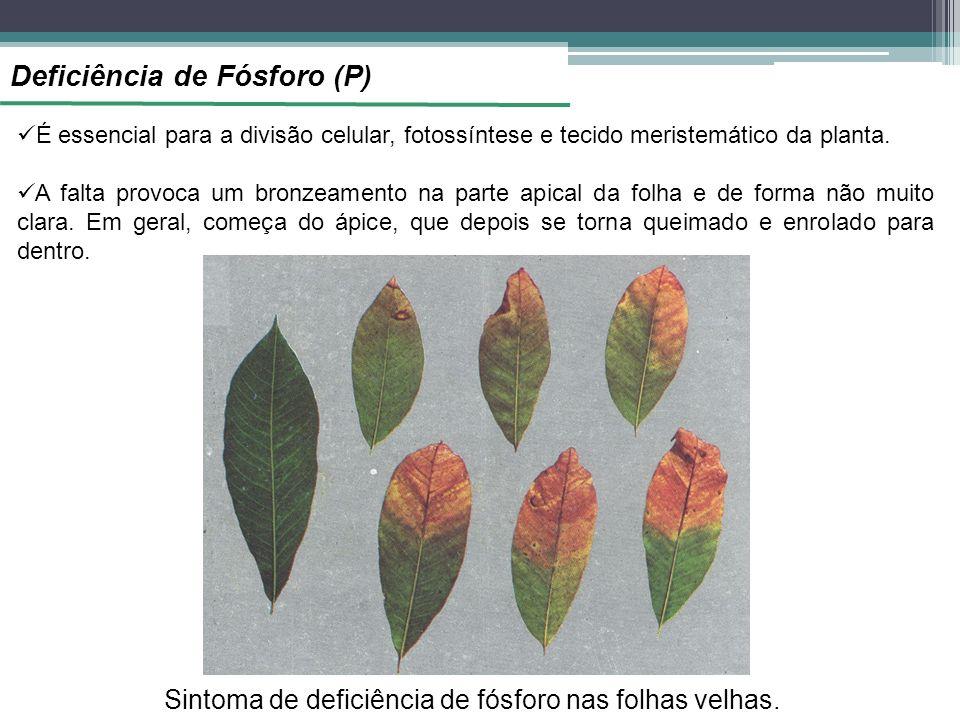 Sintoma de deficiência de fósforo nas folhas velhas.