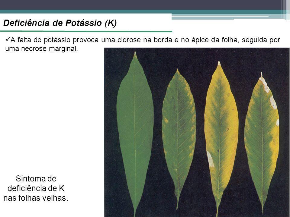 Sintoma de deficiência de K nas folhas velhas.