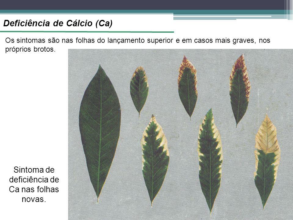 Sintoma de deficiência de Ca nas folhas novas.