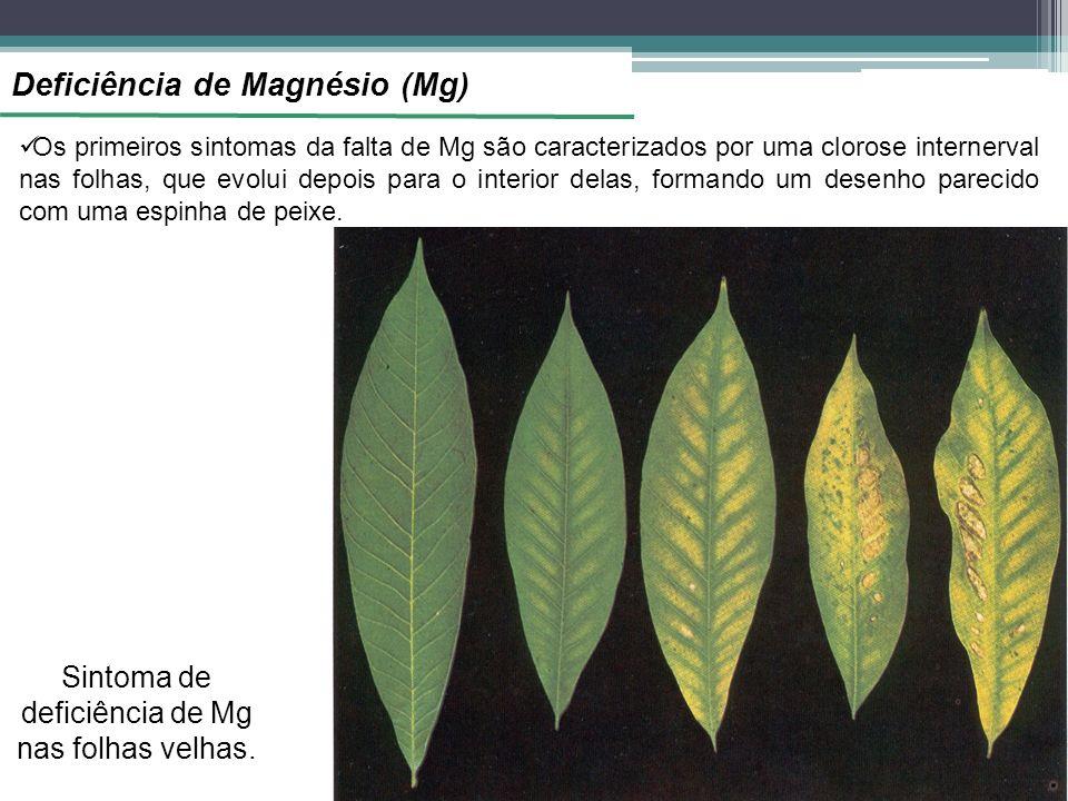 Sintoma de deficiência de Mg nas folhas velhas.