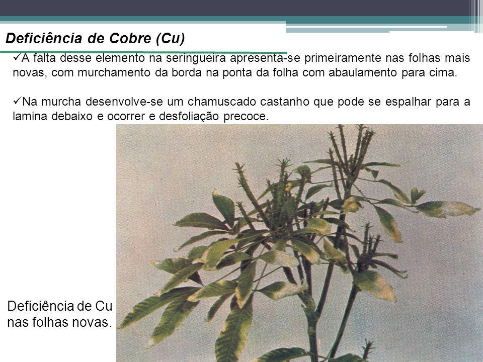 Deficiência de Cu nas folhas novas.