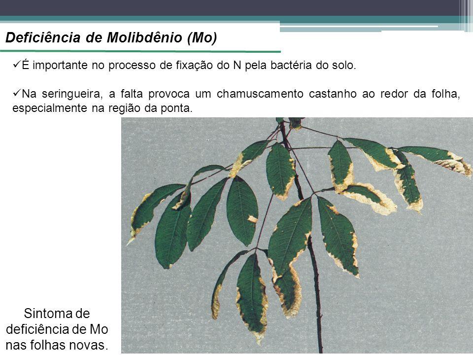 Sintoma de deficiência de Mo nas folhas novas.