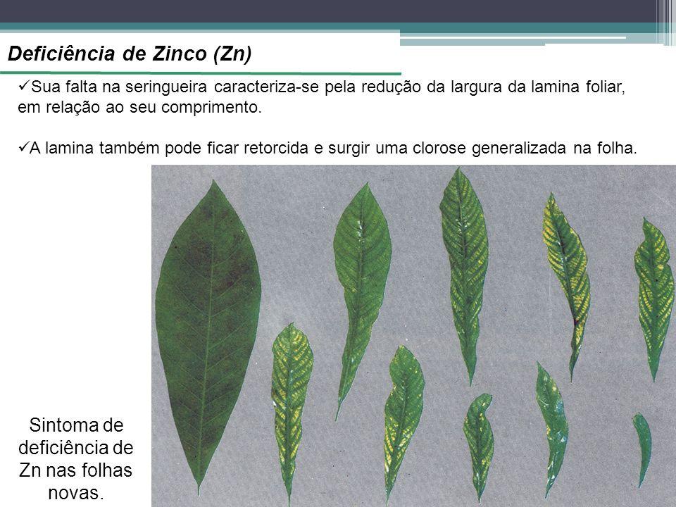 Sintoma de deficiência de Zn nas folhas novas.