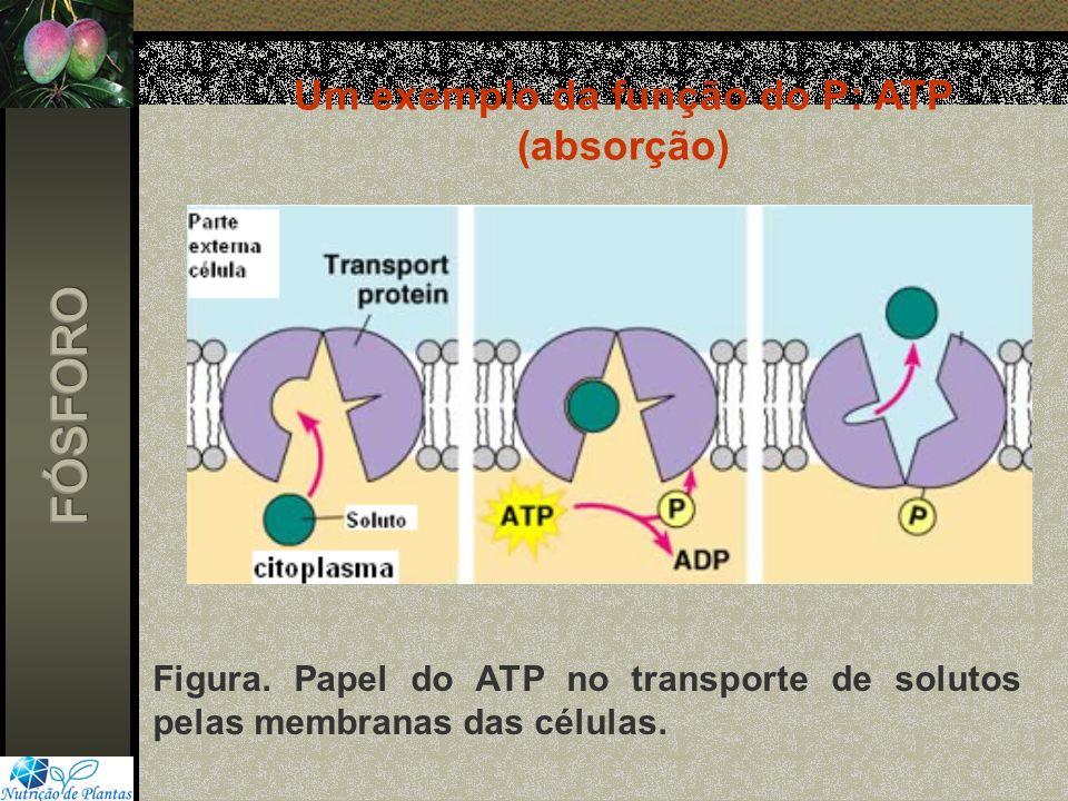 Um exemplo da função do P: ATP (absorção)