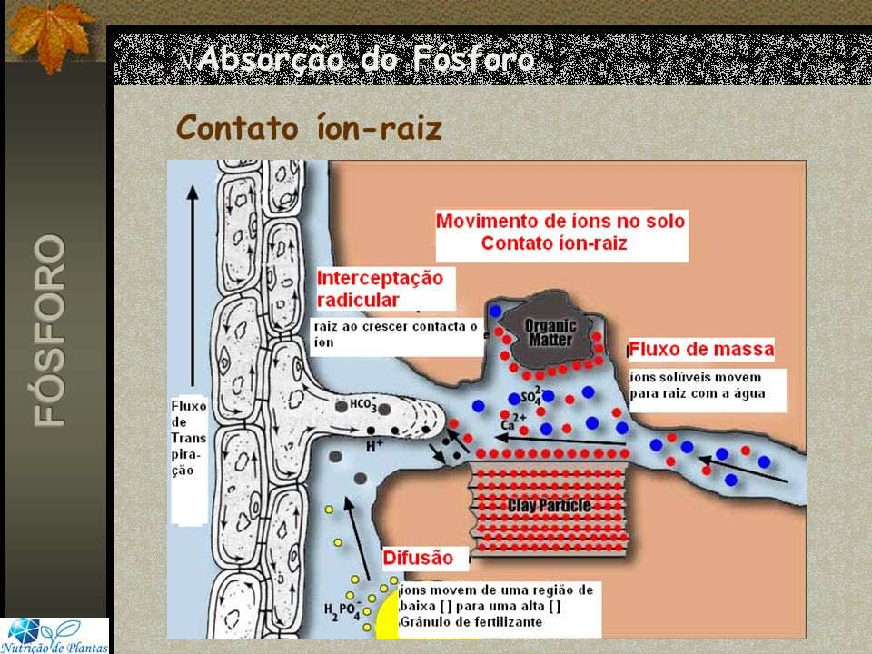 Absorção do Fósforo Contato íon-raiz FÓSFORO
