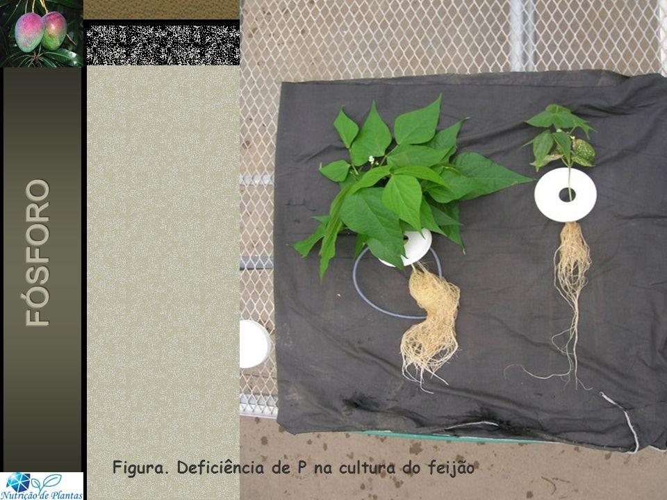 FÓSFORO Figura. Deficiência de P na cultura do feijão