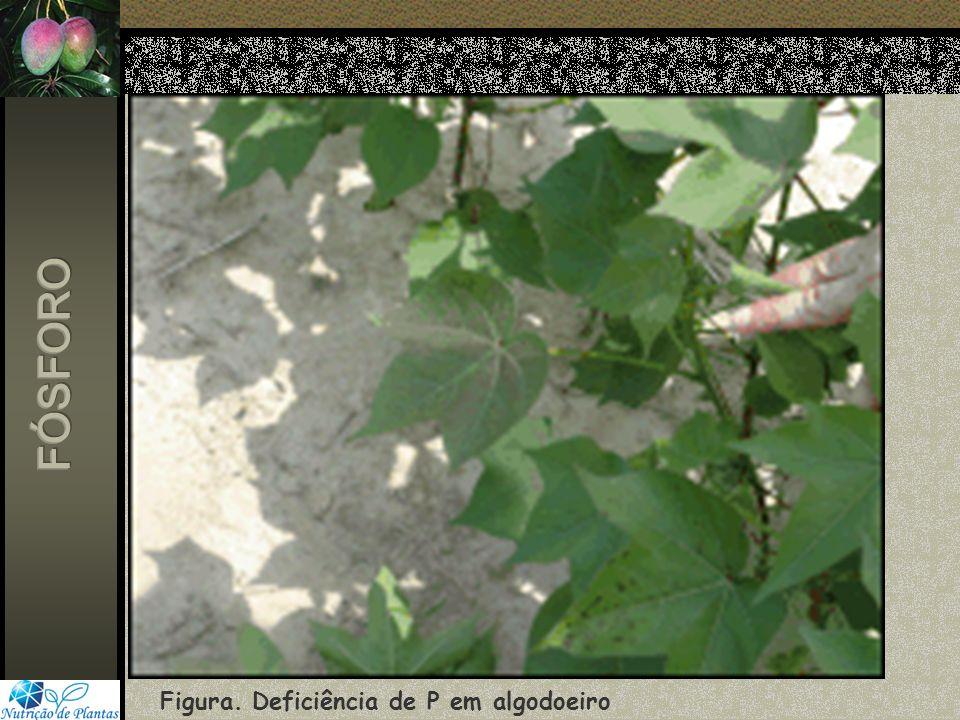 FÓSFORO Figura. Deficiência de P em algodoeiro