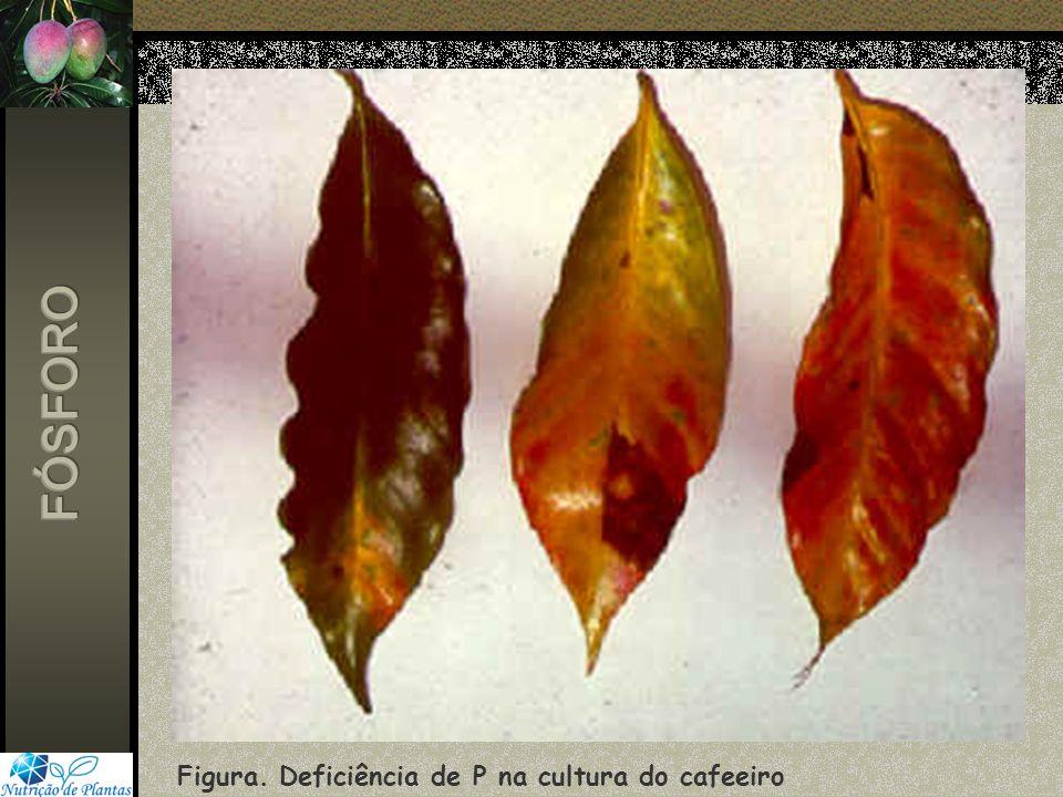 FÓSFORO Figura. Deficiência de P na cultura do cafeeiro