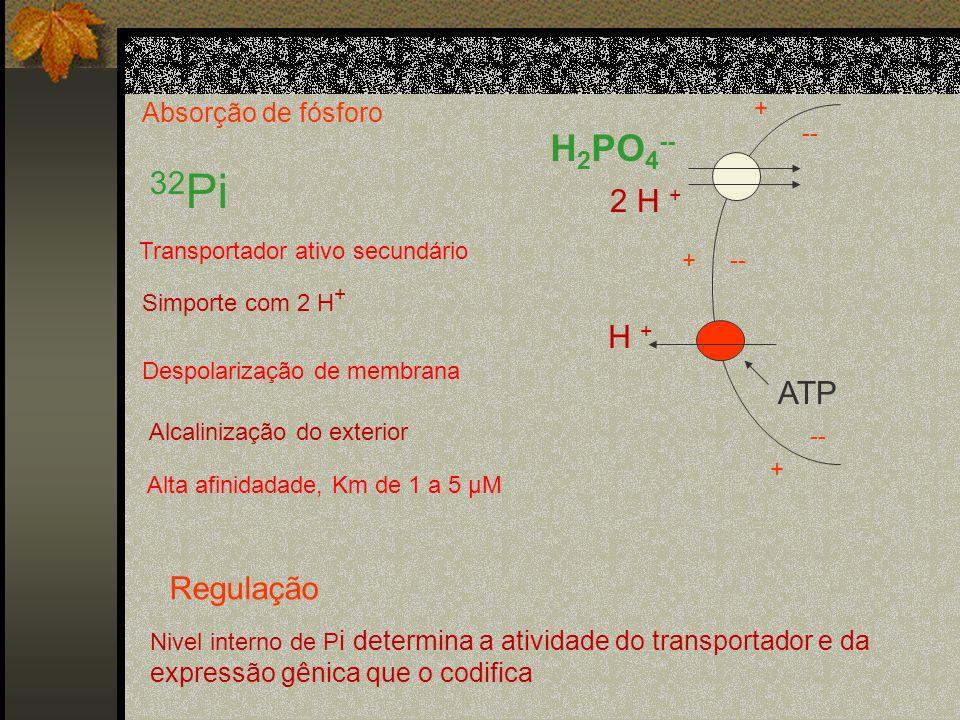32Pi H2PO4-- 2 H + H + ATP Regulação Absorção de fósforo + --