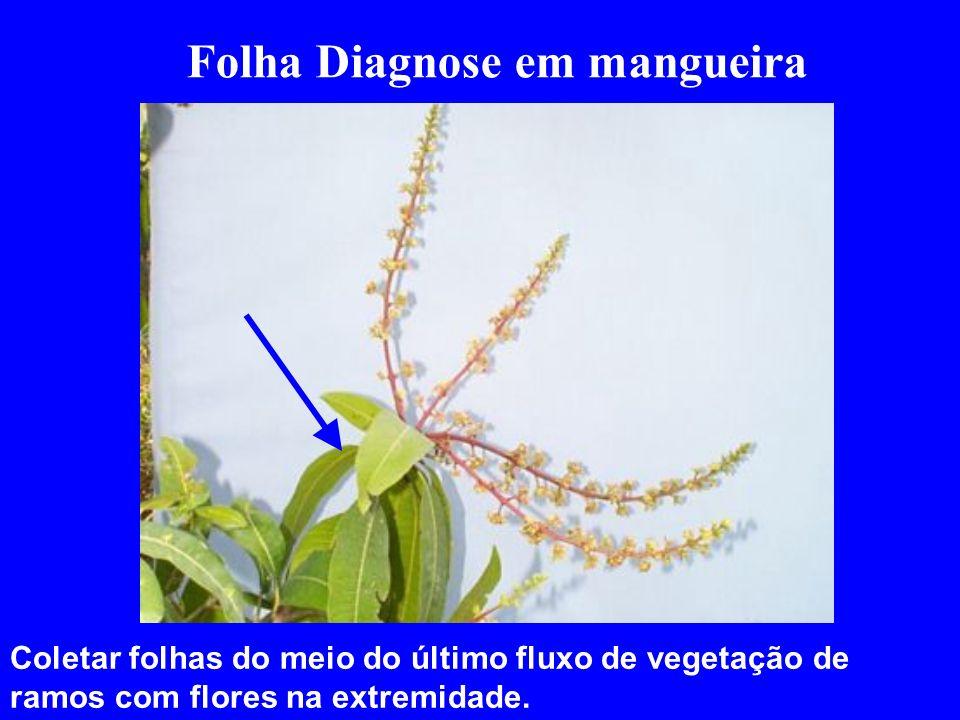 Folha Diagnose em mangueira