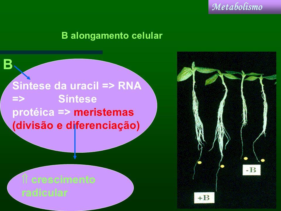 Metabolismo B alongamento celular. B. Sintese da uracil => RNA => Síntese protéica => meristemas (divisão e diferenciação)