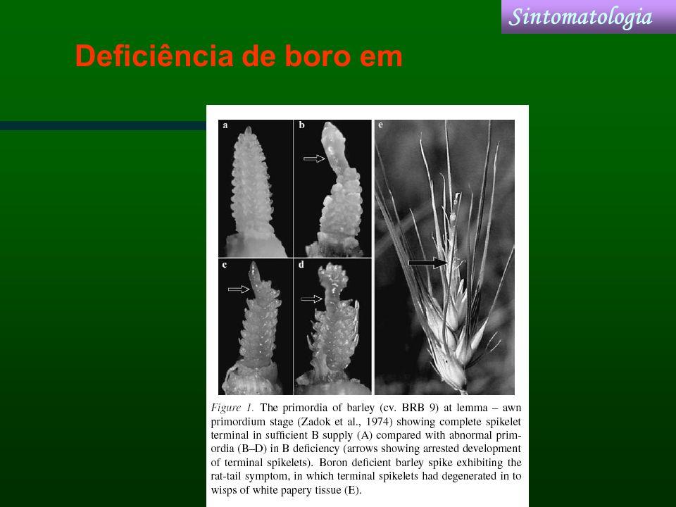 Sintomatologia Deficiência de boro em