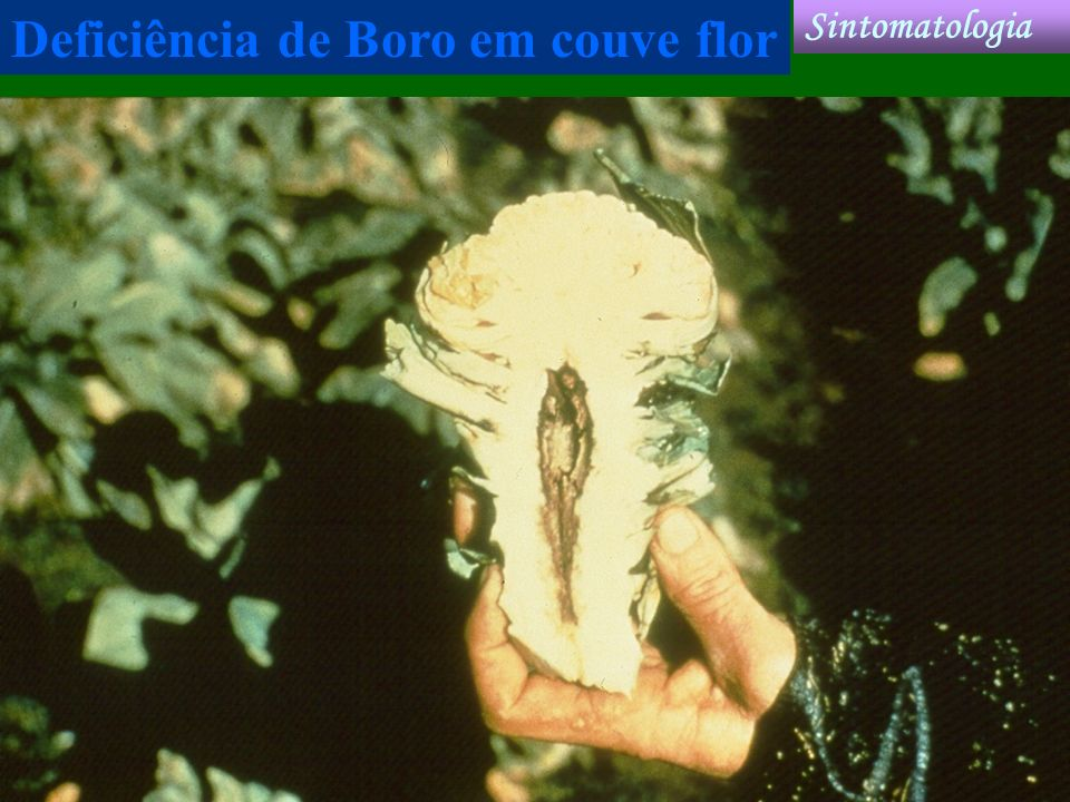 Deficiência de Boro em couve flor