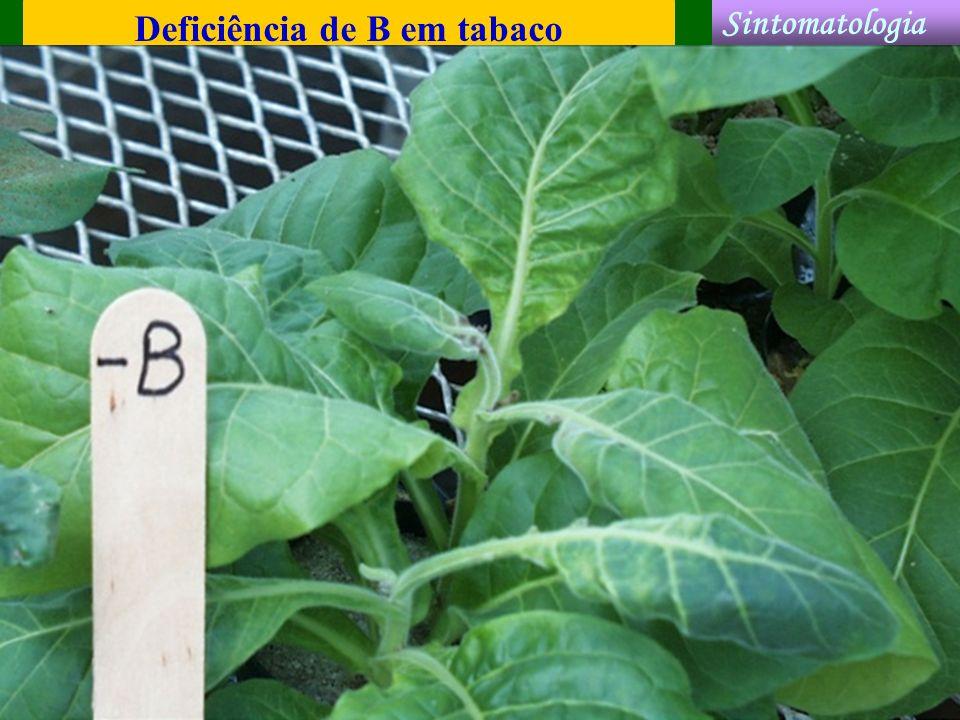 Deficiência de B em tabaco