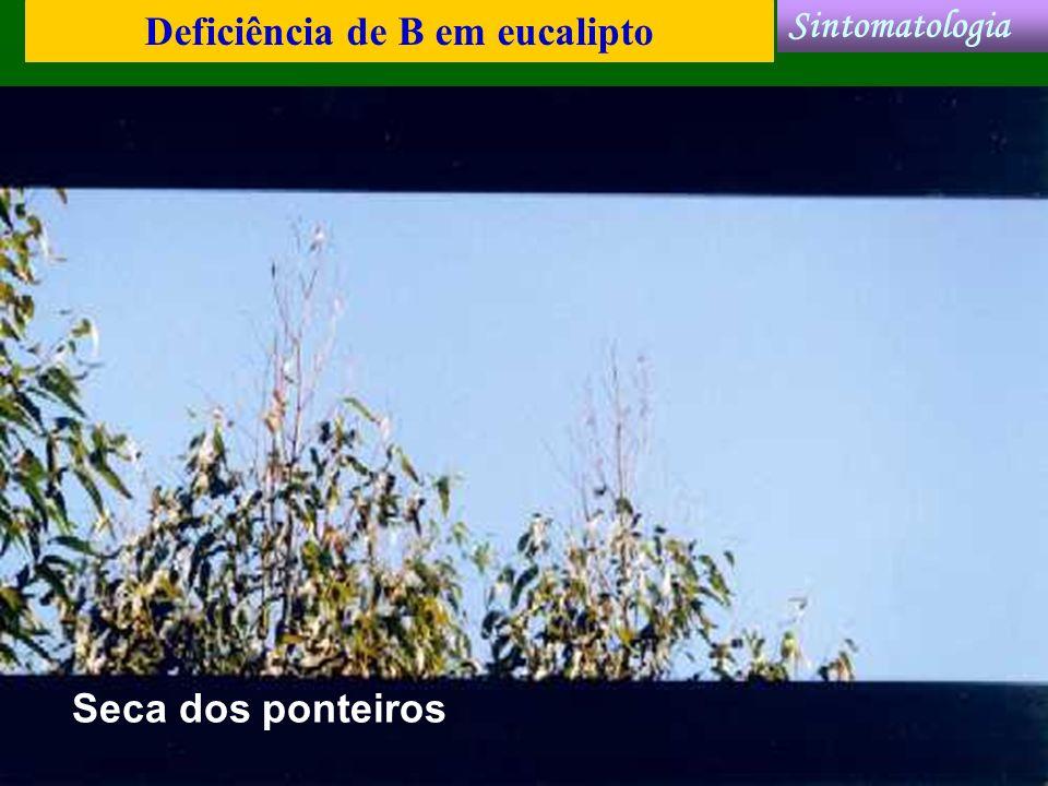 Deficiência de B em eucalipto