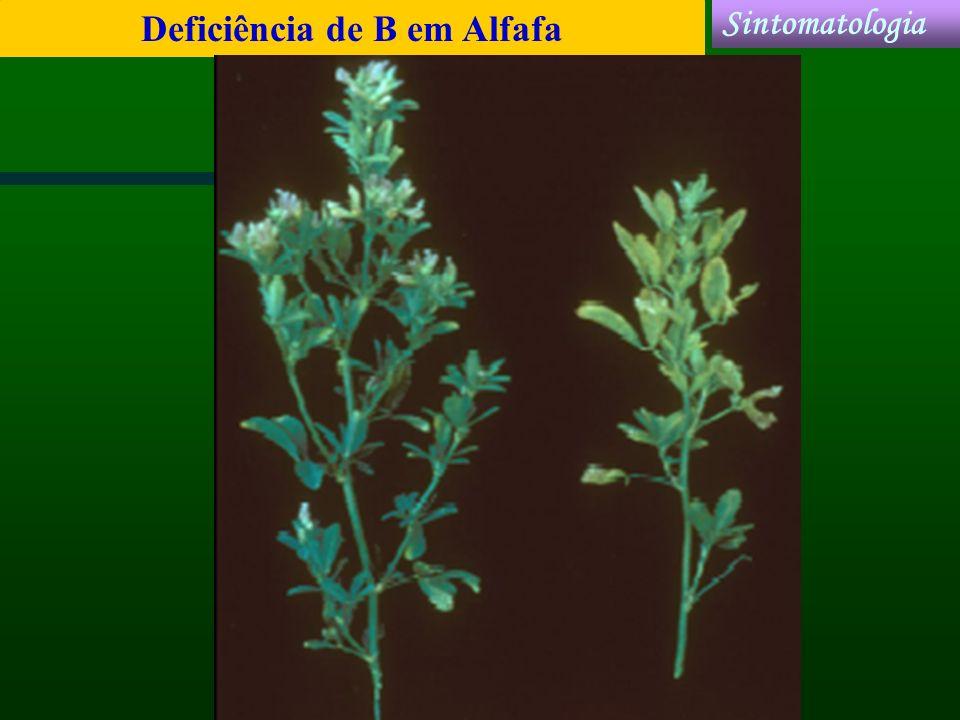 Deficiência de B em Alfafa