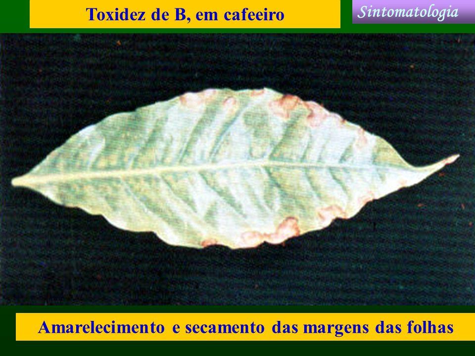 Toxidez de B, em cafeeiro Sintomatologia
