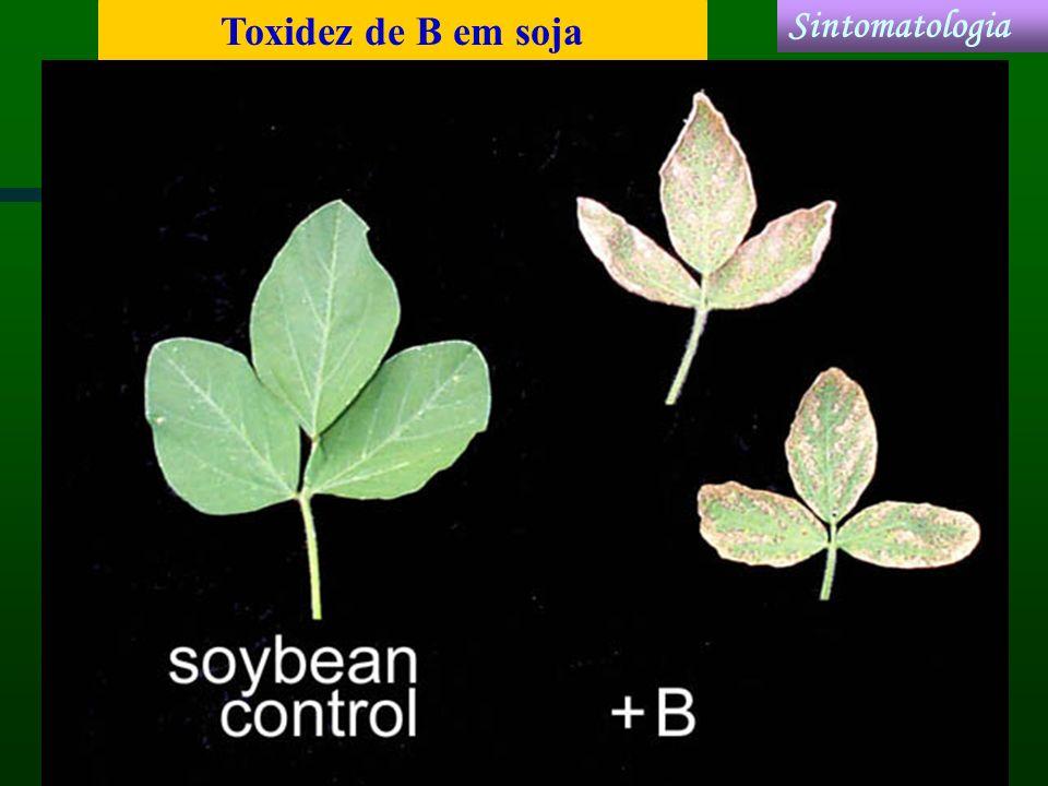 Toxidez de B em soja Sintomatologia