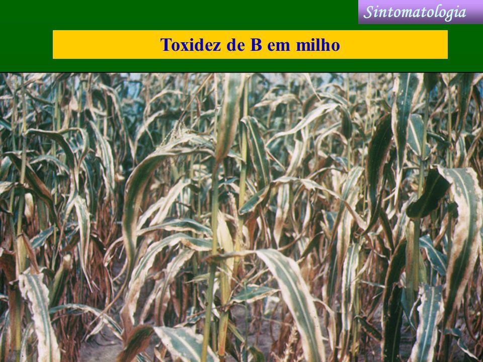 Sintomatologia Toxidez de B em milho