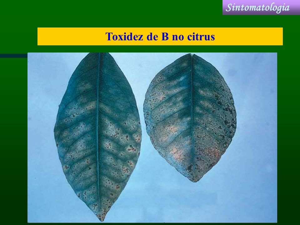 Sintomatologia Toxidez de B no citrus