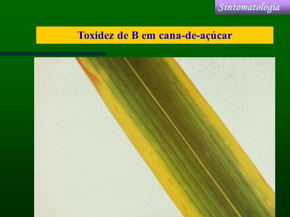Toxidez de B em cana-de-açúcar