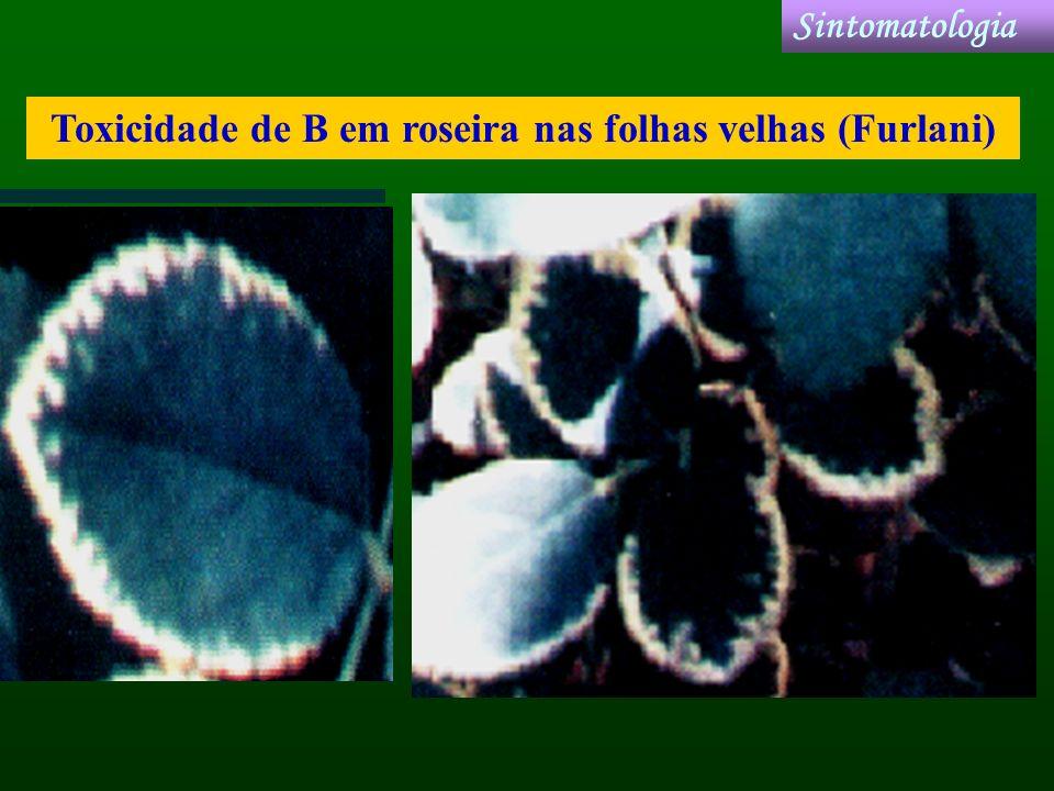 Toxicidade de B em roseira nas folhas velhas (Furlani)