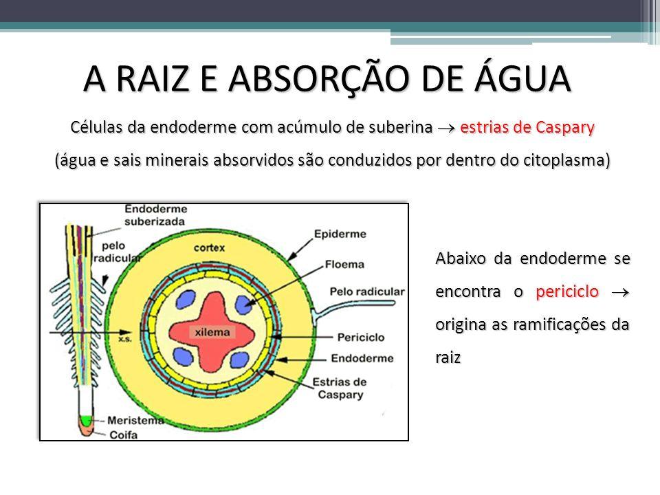 A RAIZ E ABSORÇÃO DE ÁGUA