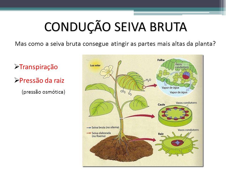 CONDUÇÃO SEIVA BRUTA Transpiração Pressão da raiz