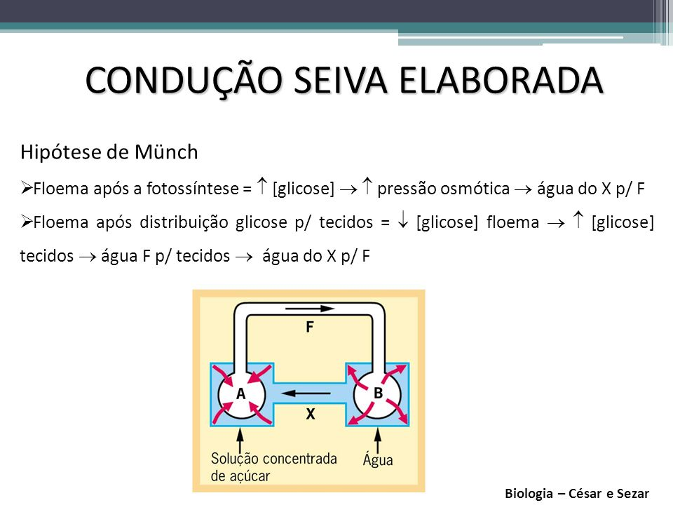 CONDUÇÃO SEIVA ELABORADA
