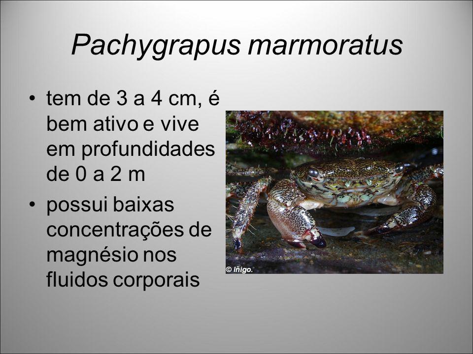 Pachygrapus marmoratus