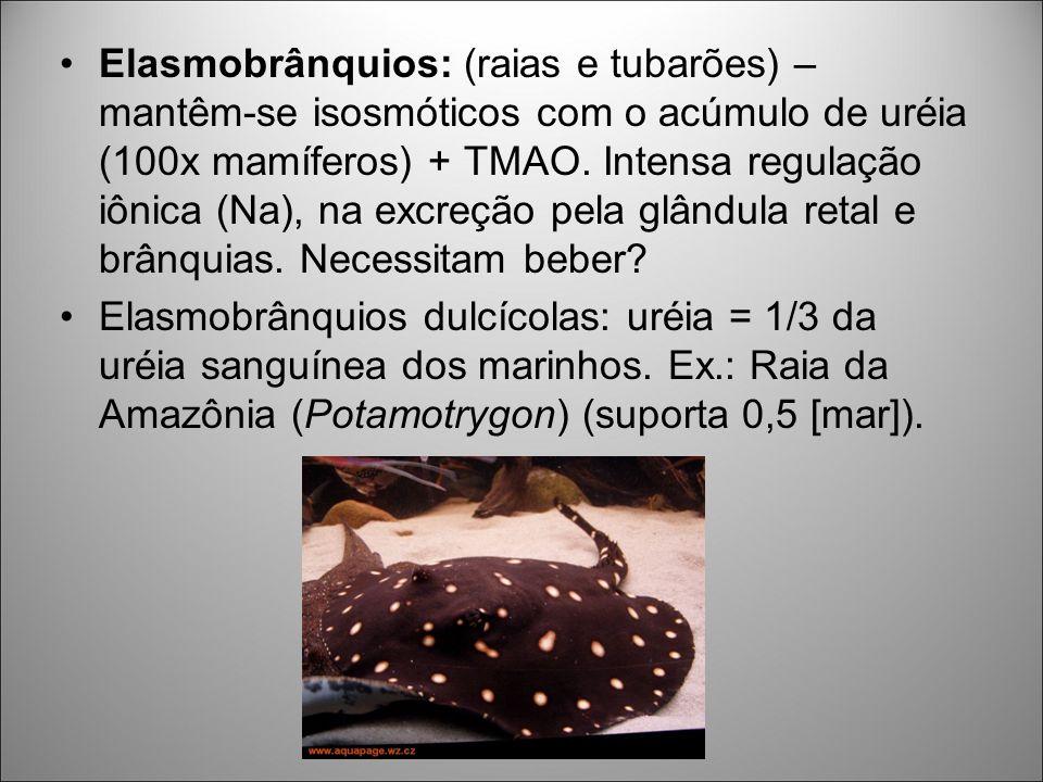 Elasmobrânquios: (raias e tubarões) – mantêm-se isosmóticos com o acúmulo de uréia (100x mamíferos) + TMAO. Intensa regulação iônica (Na), na excreção pela glândula retal e brânquias. Necessitam beber