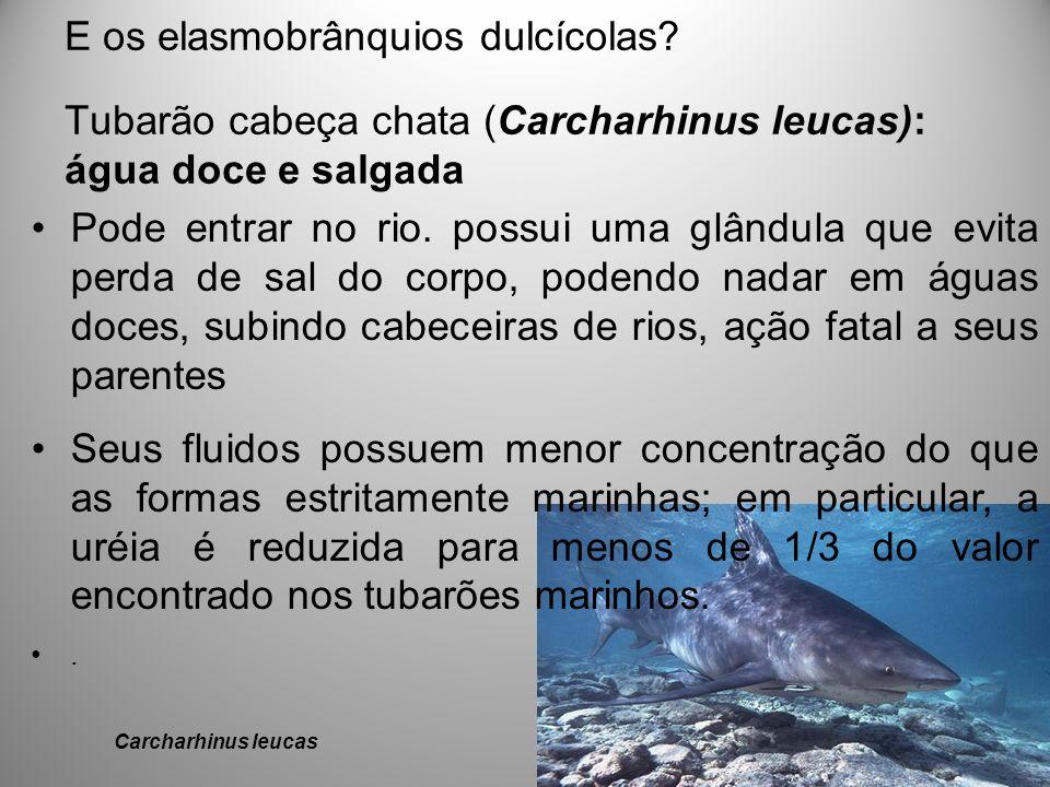 E os elasmobrânquios dulcícolas