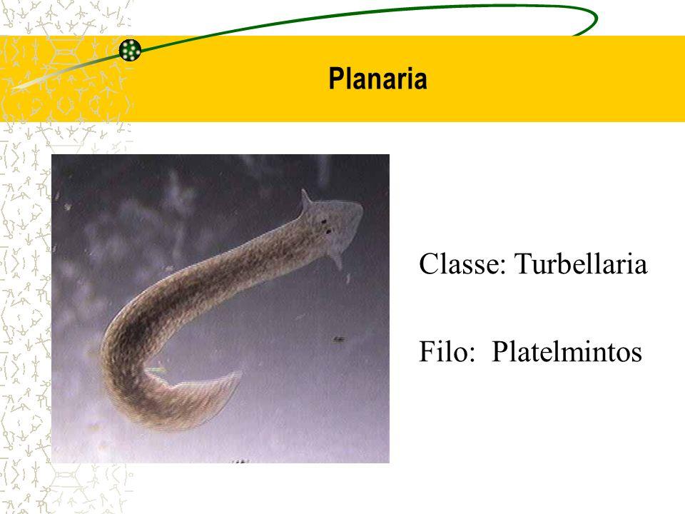 Planaria Classe: Turbellaria Filo: Platelmintos