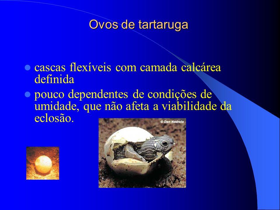 Ovos de tartaruga cascas flexíveis com camada calcárea definida.