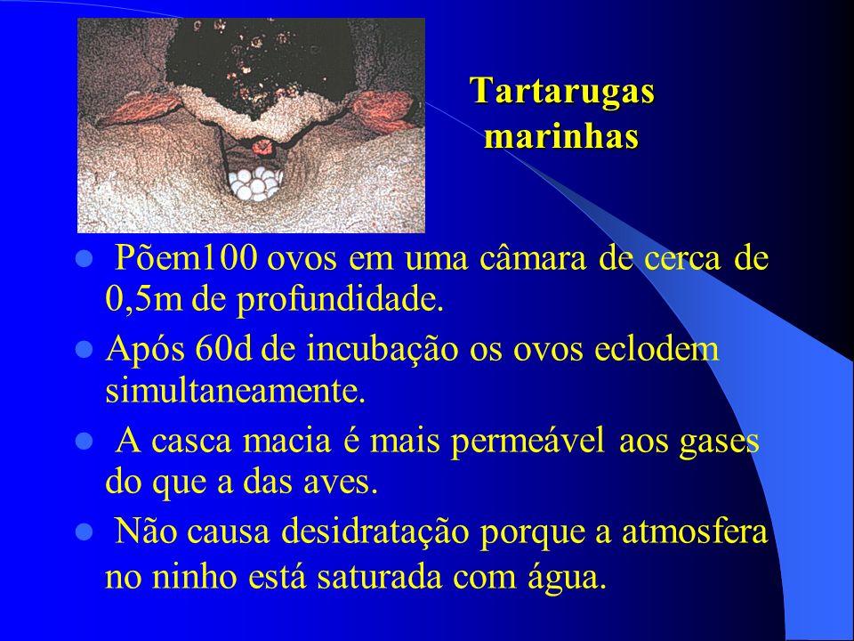 Tartarugas marinhas Põem100 ovos em uma câmara de cerca de 0,5m de profundidade. Após 60d de incubação os ovos eclodem simultaneamente.