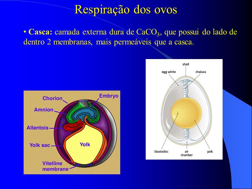 Respiração dos ovos Casca: camada externa dura de CaCO3, que possui do lado de dentro 2 membranas, mais permeáveis que a casca.