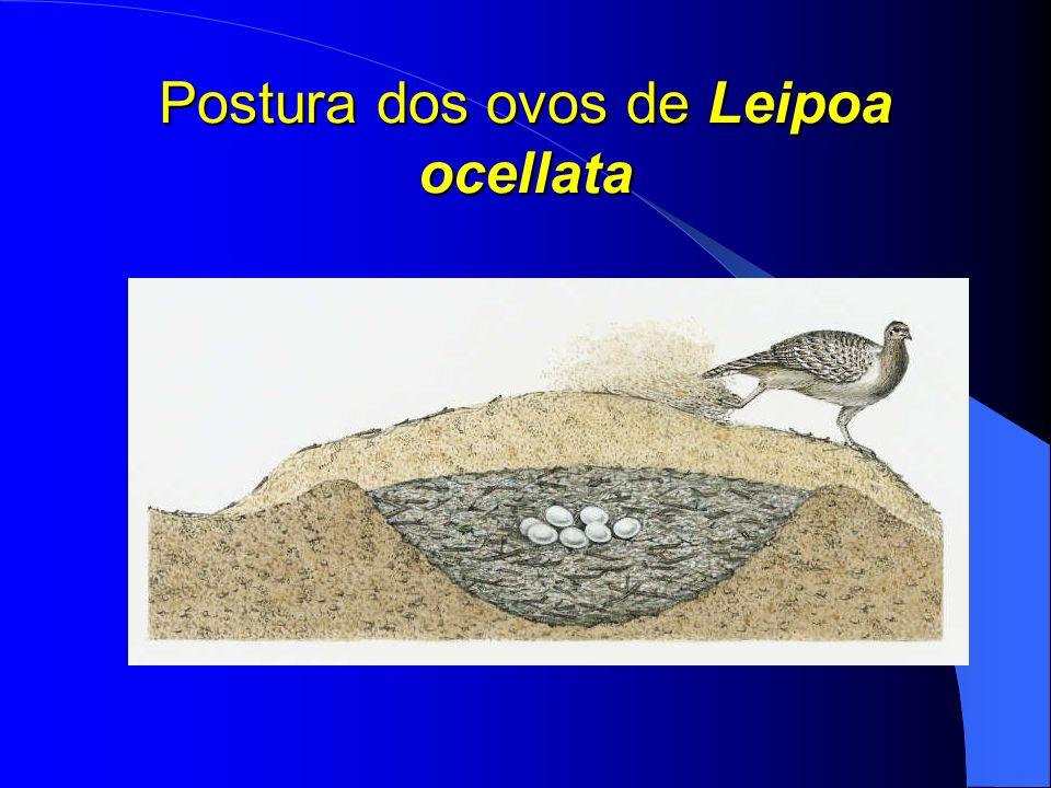 Postura dos ovos de Leipoa ocellata