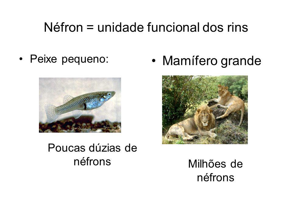 Néfron = unidade funcional dos rins