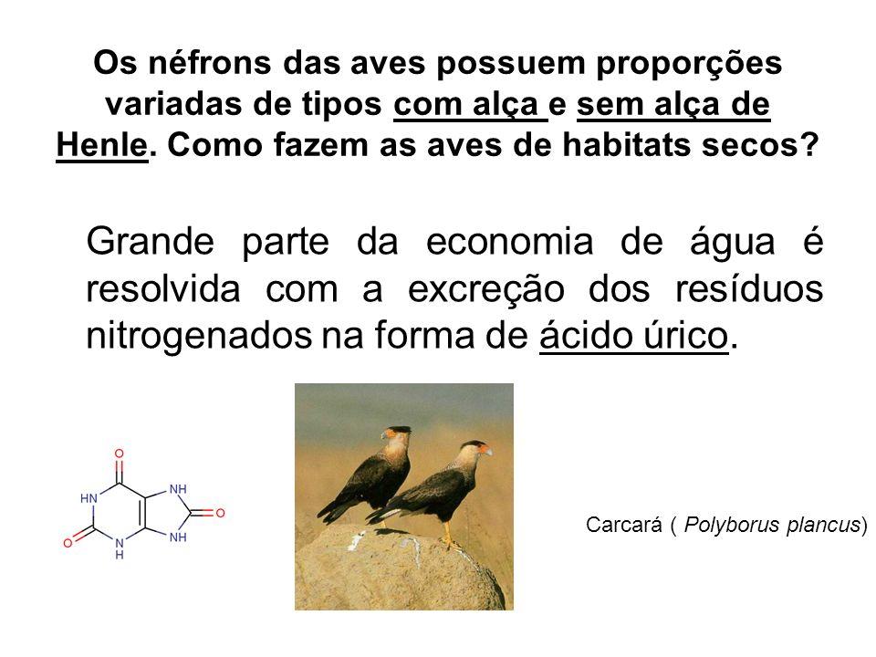 Carcará ( Polyborus plancus)