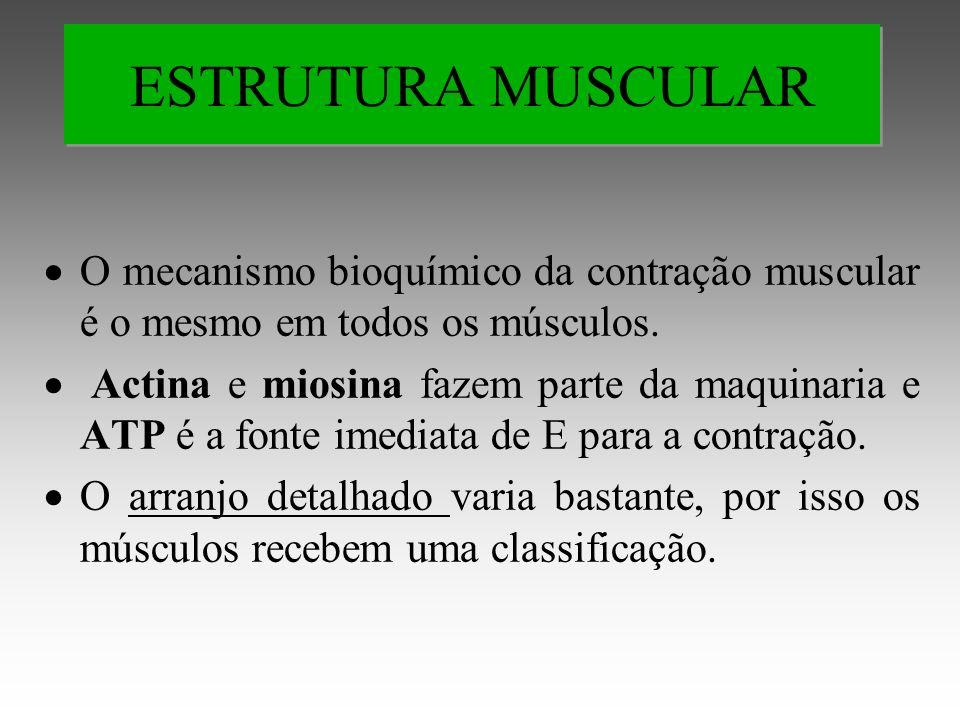 ESTRUTURA MUSCULAR O mecanismo bioquímico da contração muscular é o mesmo em todos os músculos.