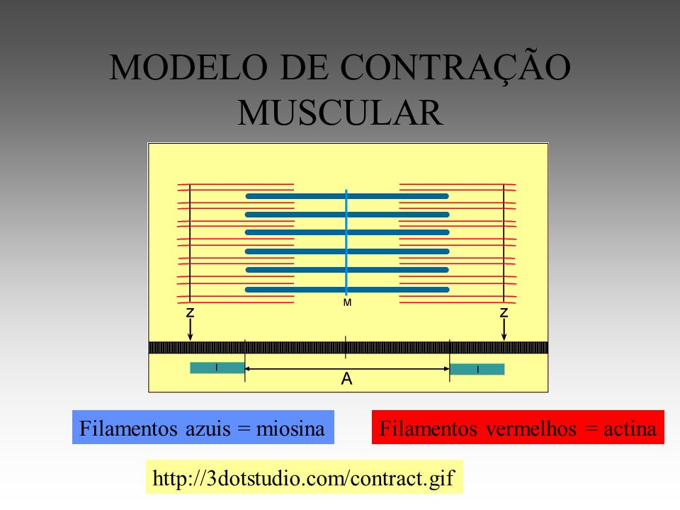 MODELO DE CONTRAÇÃO MUSCULAR
